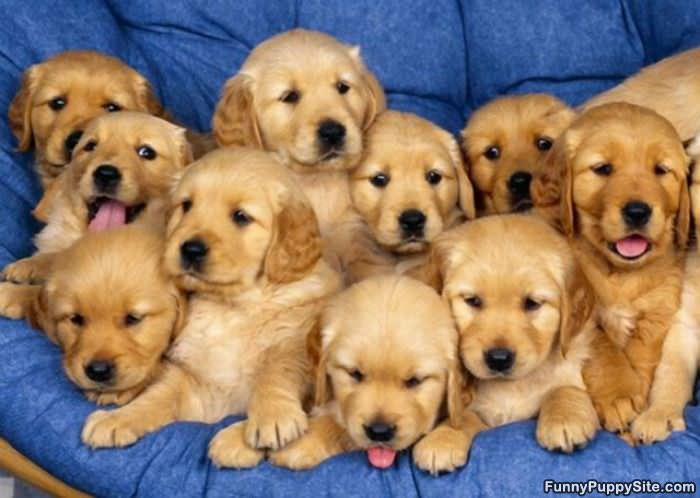 army of puppies   funnypuppysite