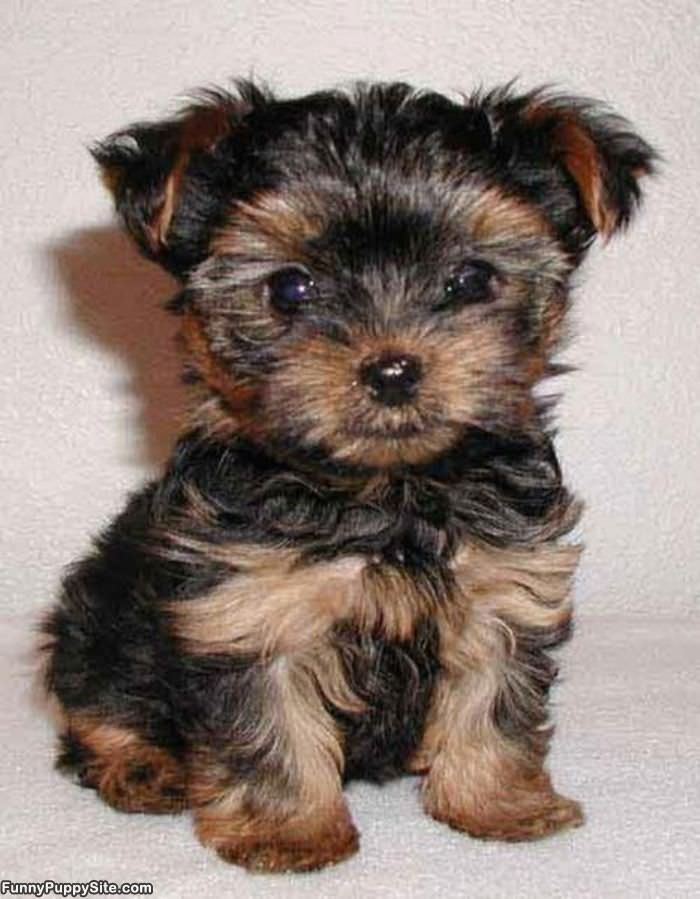 cute little puppy eyes   funnypuppysite