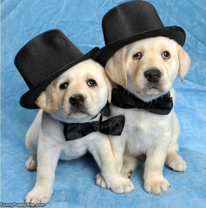 Cute puppies in tophats funnypuppysite cute puppies in tophats voltagebd Image collections