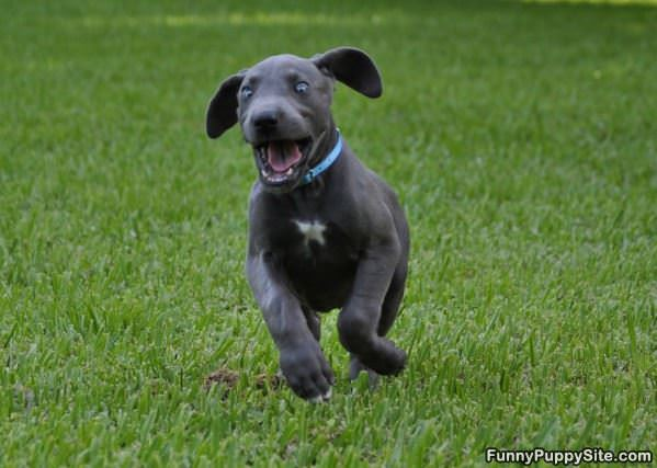 Search Great Dane Puppies For Sale In Michigan