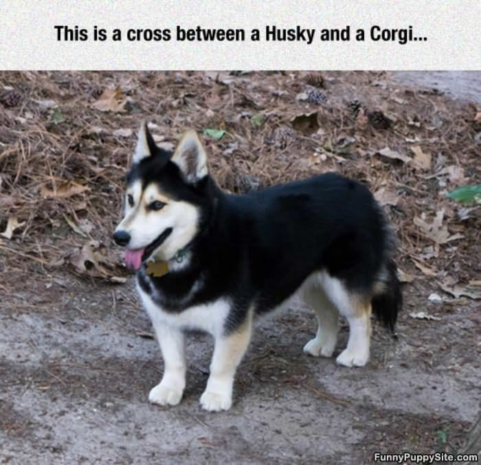 Husky And Corgy Mix
