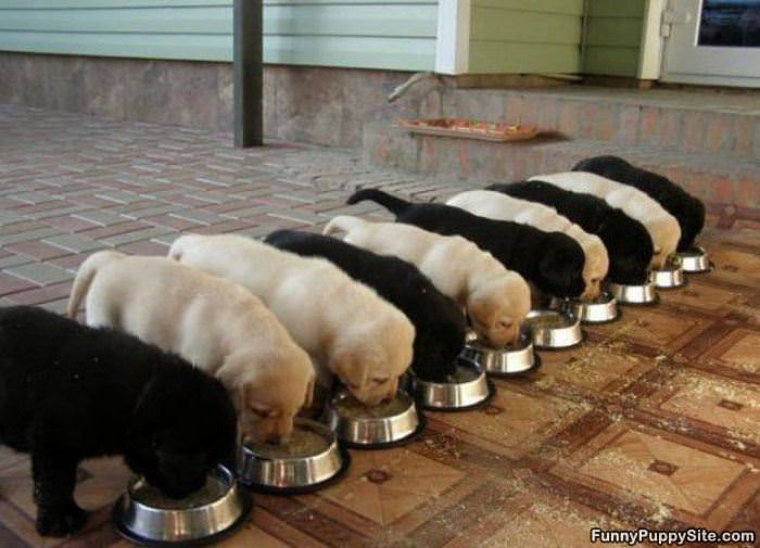 Most Inspiring Funny Army Adorable Dog - The_Puppy_Army_Is_Hungry  HD_797143  .jpg