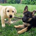 Puppers Sharing A Stick